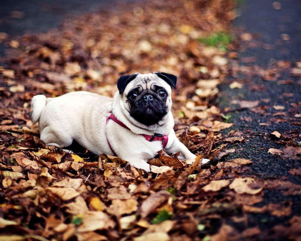 Мопсы - собаки, которые станут настоящими друзьями для всех членов семьи, фото-2