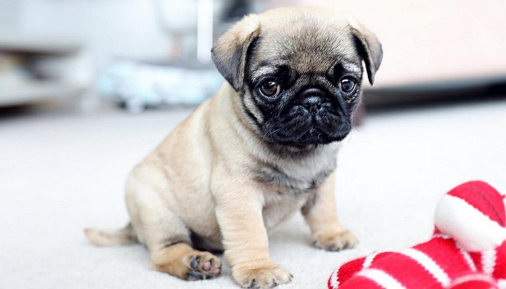 Мопсы - собаки, которые станут настоящими друзьями для всех членов семьи, фото-3